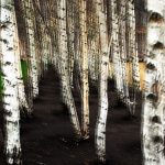 Urban Birches by Lyn Holly Coorg; C-Type Fuji Lustre Photographic Paper